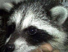 Razzberry the Raccoon